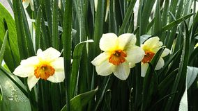 Narcis. Beautiful flower narcis in my garden Royalty Free Stock Images