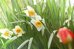 Narcis Stock Photos