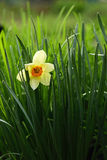 Narcis. Beautiful white daffodil, spring flower Royalty Free Stock Photos