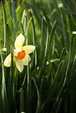 Narcis. Beautiful white daffodil, spring flower Royalty Free Stock Images