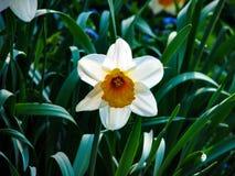 Narcis blancos hermosos en día soleado en fondo herboso foto de archivo