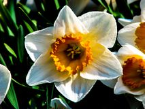 Narcis blancos hermosos en d?a soleado en fondo herboso fotos de archivo libres de regalías
