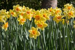 Narcis flowers in Keukenhof garden Netherlands Royalty Free Stock Images