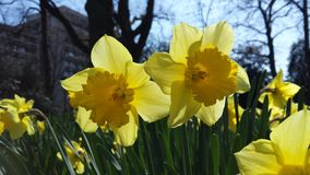 Narcis Flowers Royalty Free Stock Images