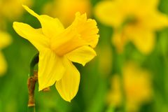 Narcis int the garden - yellow color - detail royalty free stock photo