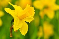 Narcis int ogród szczegół - żółty kolor - zdjęcie royalty free
