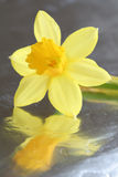 Narcis on shiny surface Royalty Free Stock Photos