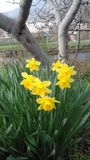 Narcises in nature. Spring is coming, yellow flowers, narcise in nature Stock Photos