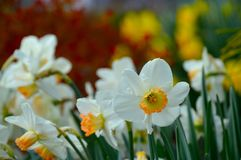 Narcisi della primavera Fotografie Stock