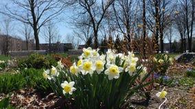 Narcisi della primavera Immagine Stock