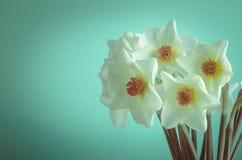 Narcisi della primavera - incrocio elaborato immagine stock