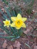 Narcisi della primavera Schioccare su attraverso la terra congelata fotografia stock libera da diritti