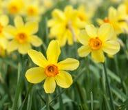 Narcisi della tromba gialla in un campo del narciso Fotografia Stock