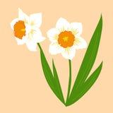 Narcisi di paia dei fiori con fogliame Illustrazione di vettore Patte Fotografia Stock Libera da Diritti