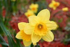Narcisi in fioritura fotografie stock