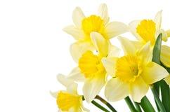 Narcisi gialli Fotografia Stock