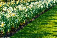 Narcisi gialli dell'Olanda Immagine Stock Libera da Diritti