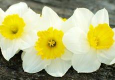 Narcisi gialli della primavera Immagini Stock