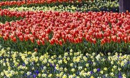 Narcisi gialli Keukenhoff Lisse Holland Netherlands dei tulipani rossi immagine stock libera da diritti