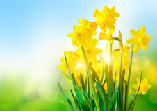 Narcisi gialli luminosi Fotografia Stock Libera da Diritti