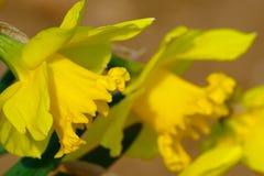 Narcisi gialli in primavera Fotografie Stock Libere da Diritti