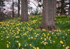 Narcisi gialli su una collina boscosa Fotografia Stock Libera da Diritti