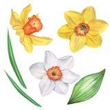 Narcisi insieme Isolato su bianco Illustrazione dell'acquerello Illustrazione della mano Royalty Illustrazione gratis