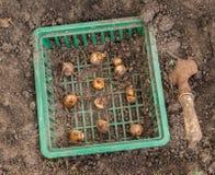 Narcisi nel canestro per la piantatura delle lampadine Fotografie Stock Libere da Diritti