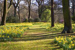 Narcisi nel parco di Hagley, Christchurch, Nuova Zelanda fotografia stock