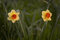 Narcisi in primavera Immagine Stock
