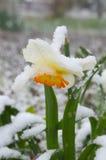 Narcisi sotto neve - anomalia Immagini Stock Libere da Diritti