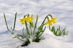 Narciso 06 fotografía de archivo libre de regalías