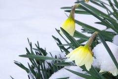 Narciso 09 Imágenes de archivo libres de regalías