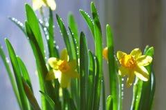 Narciso Foto de Stock