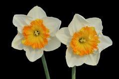 Narciso 9 imagenes de archivo