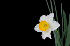 Narciso Immagine Stock