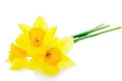 Narciso Imagem de Stock