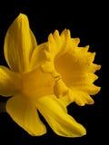 Narciso Fotografía de archivo