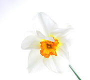 Narciso Imágenes de archivo libres de regalías