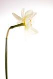 Narciso Fotografía de archivo libre de regalías