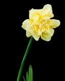 Narciso Fotografia Stock