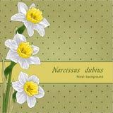 Narciso Imagens de Stock Royalty Free
