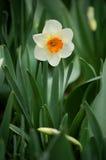Narciso Imagen de archivo