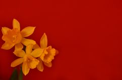 Narciso Fotos de archivo libres de regalías