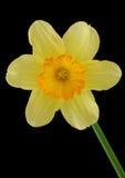 Narciso Foto de archivo libre de regalías