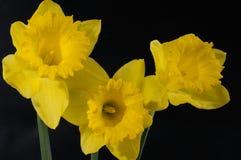 Narciso imagen de archivo libre de regalías