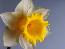 Narciso 2 Fotos de archivo libres de regalías