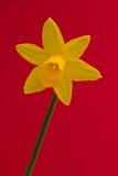 Narciso aislado Imágenes de archivo libres de regalías