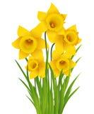 Narciso amarelo Imagem de Stock
