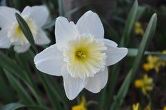 Narciso amarelo Foto de Stock